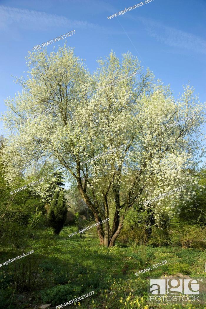 St Lucie Cherry, Prunus mahaleb / Steinweichsel, Prunus mahaleb ...