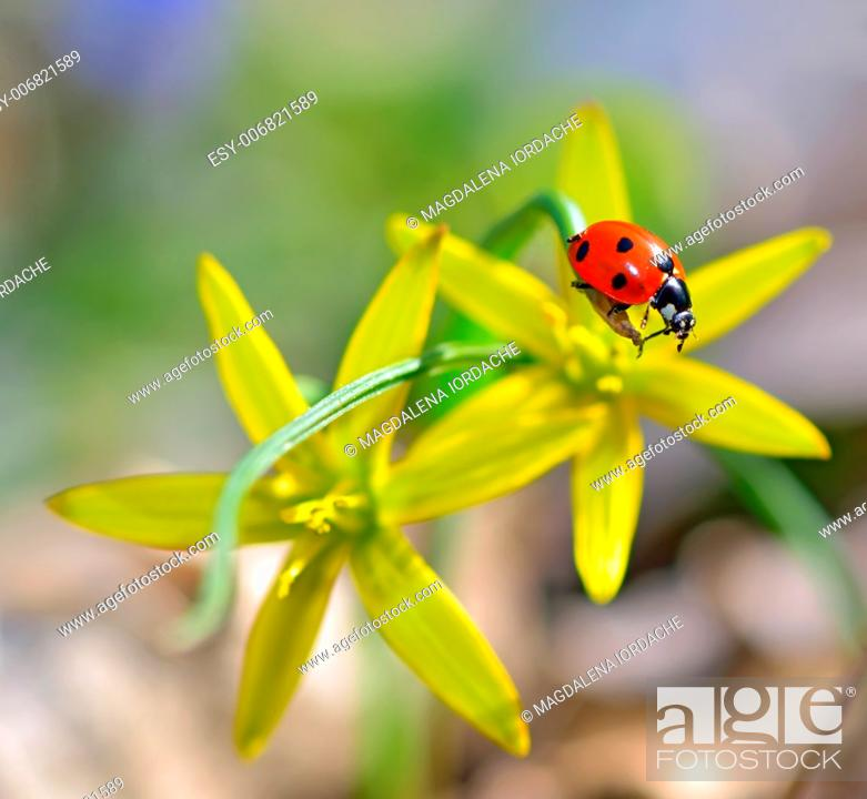 Stock Photo: red ladybug on yellow flowers isolated in summer time.