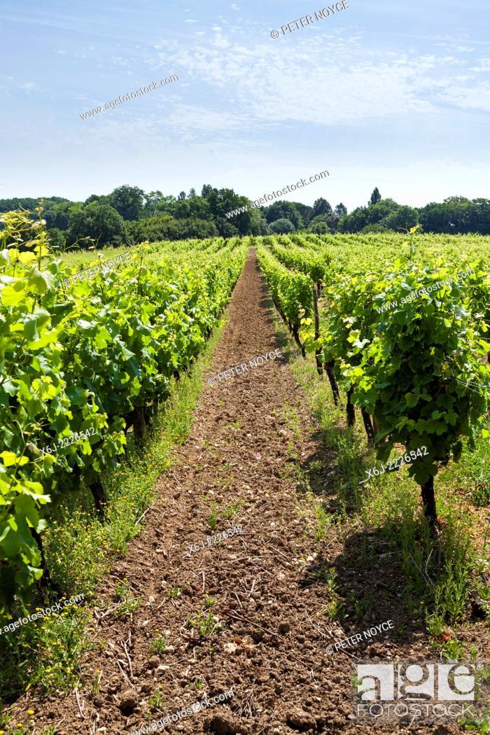 Stock Photo: Rows of grape vines at Monbazillac.