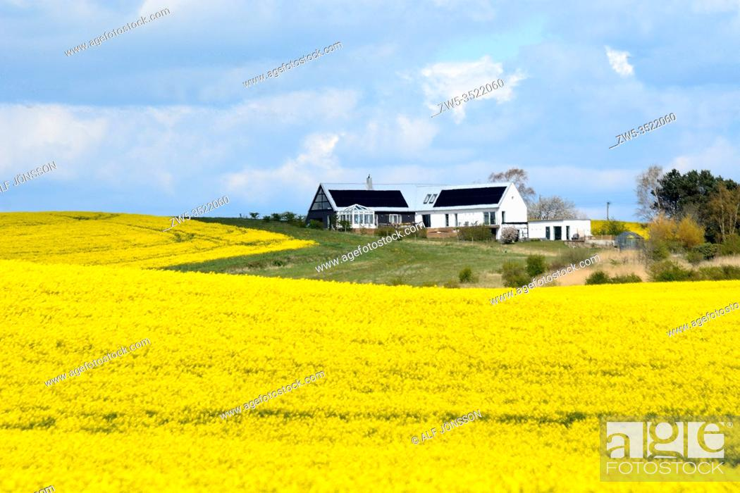 Stock Photo: Field of rape with houses and trees in Sjörup, Scania, Sweden; Europe.