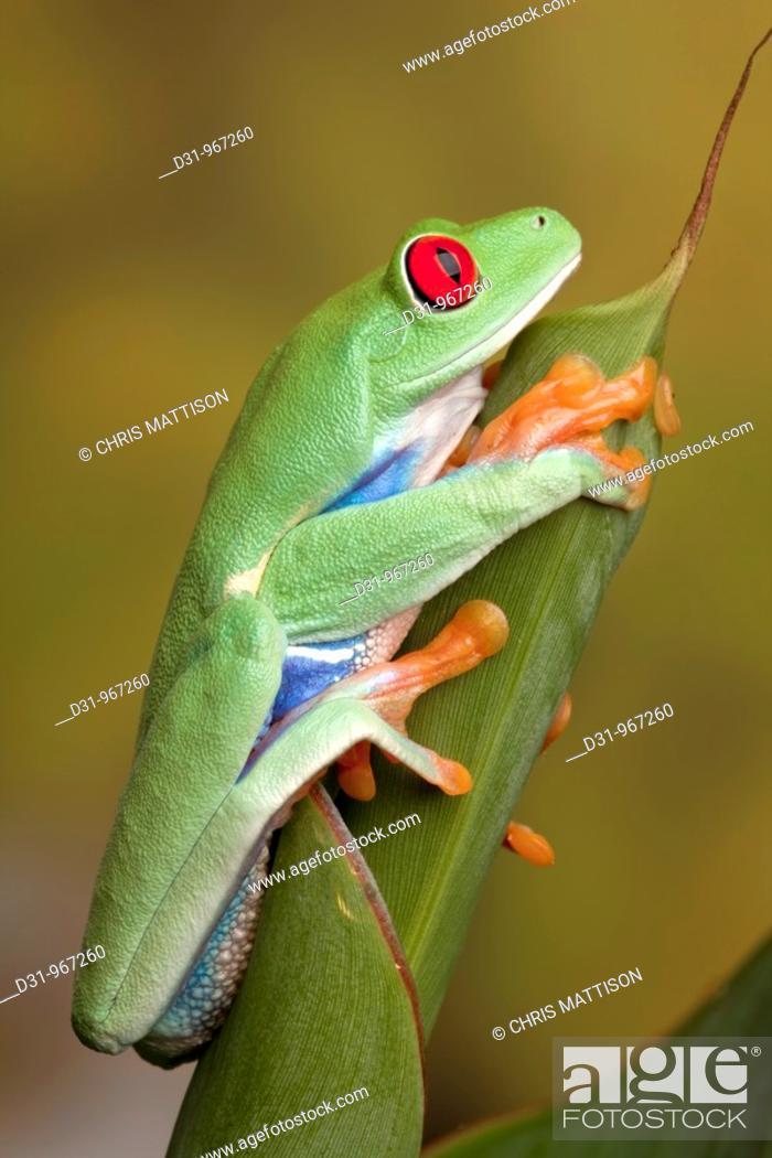 Stock Photo: Red-eyed Leaf Frog, Agalychnis callidryas, Central America.