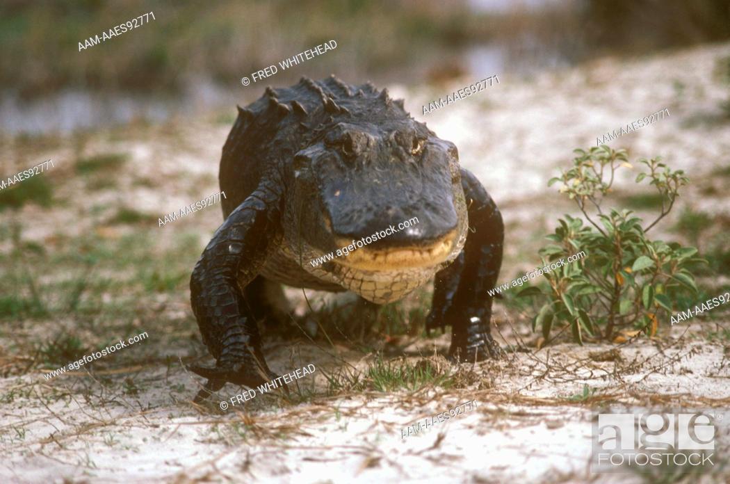 Stock Photo: American Alligator Walking (Alligator mississippiensis) Cumberland Island, GA, Georgia.