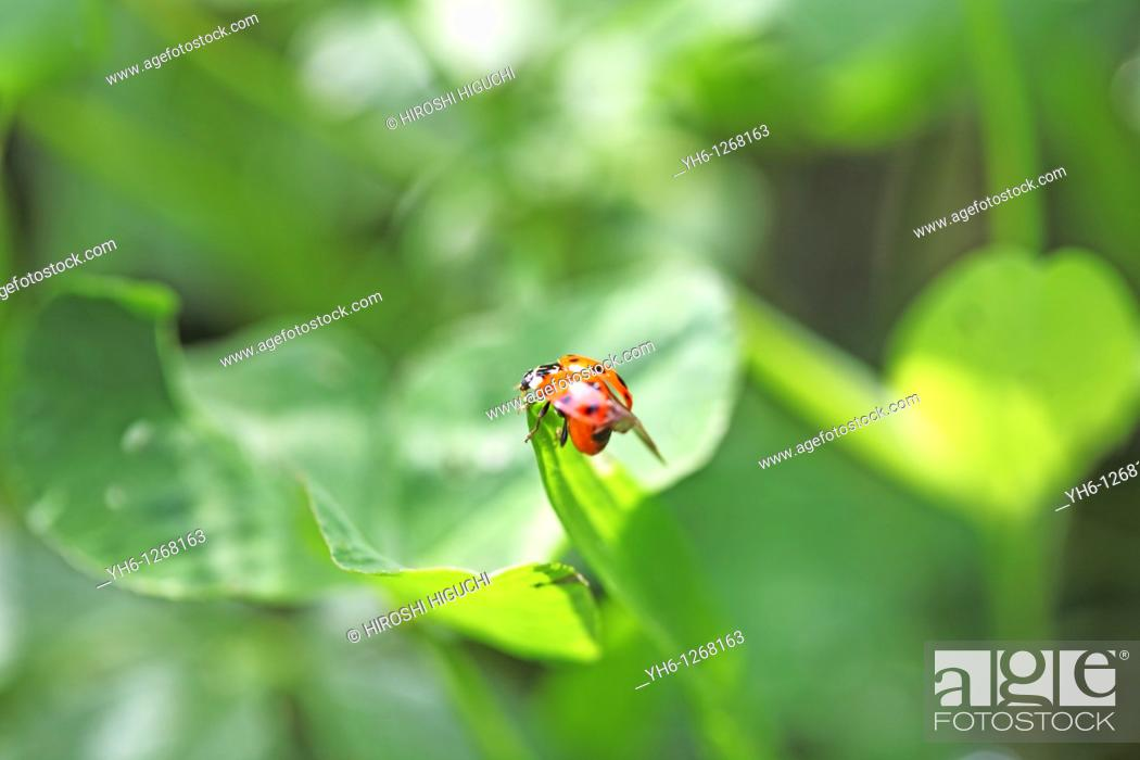 Stock Photo: Switzerland, Canton Baselland, ladybird on a blade of grass.