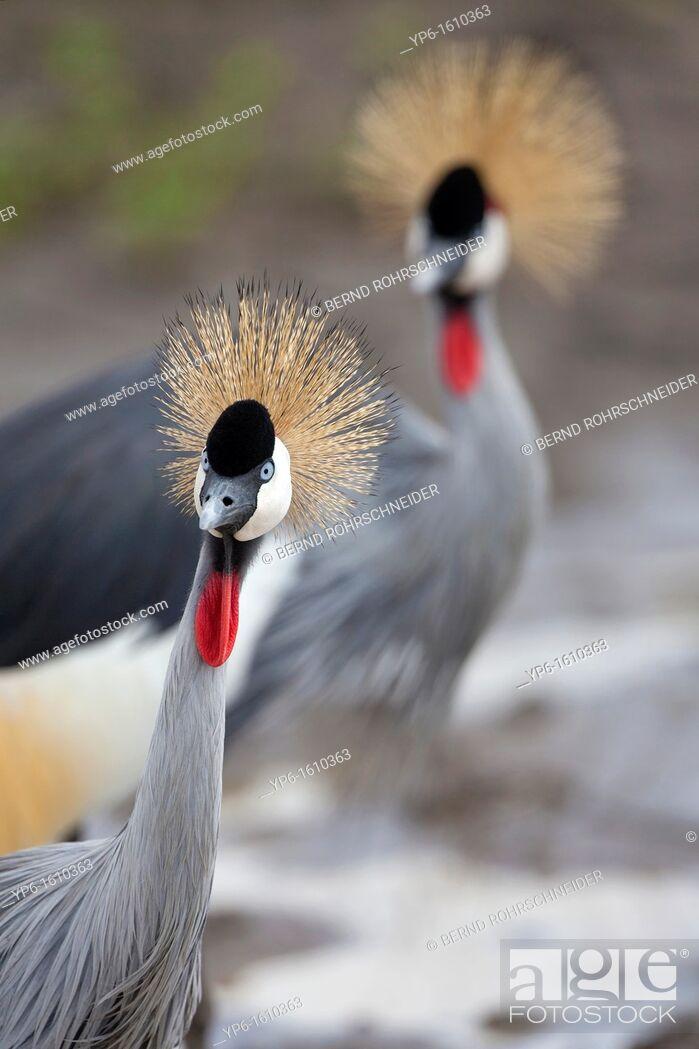 Stock Photo: Grey Crowned Crane Balearica regulorum, portrait, Serengeti National Park, Tanzania.