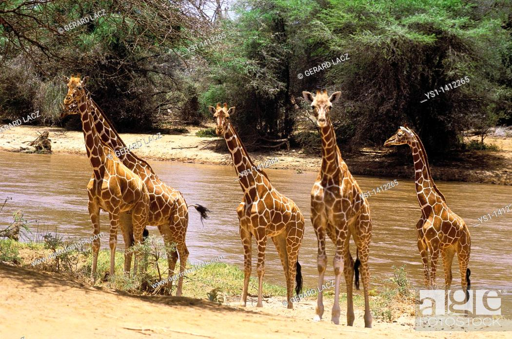 Stock Photo: RETICULATED GIRAFFE giraffa camelopardalis reticulata, GROUP STANDING AT RIVER EDGE, KENYA.