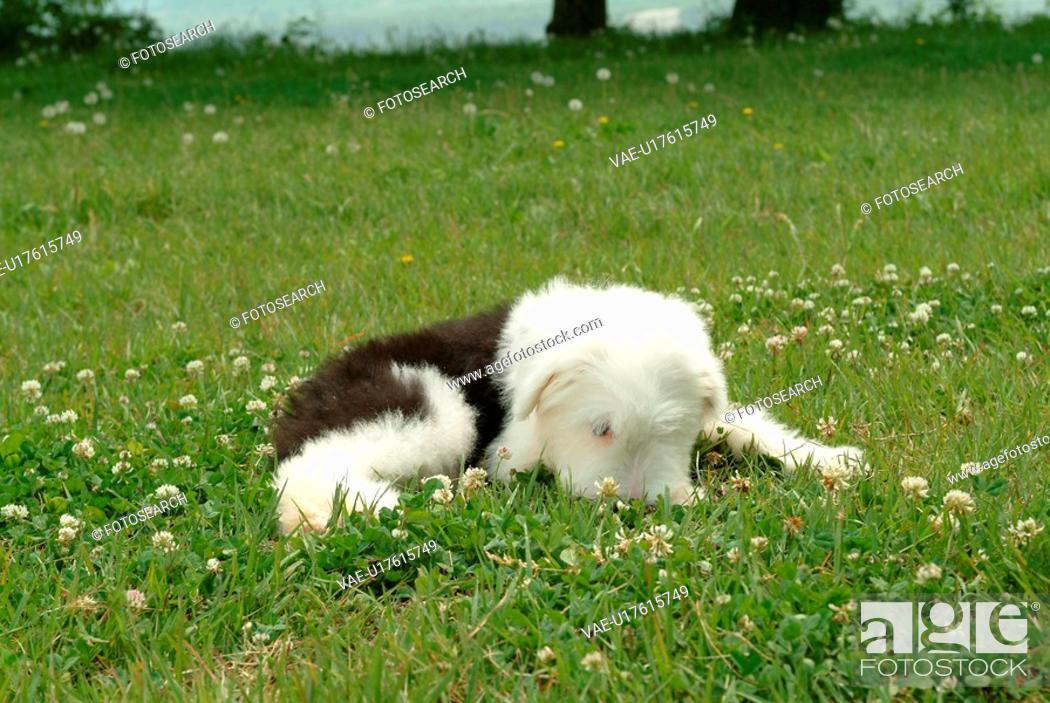 Stock Photo: cute, canine, old english sheepdog, sheepdog, domestic dog, sitting, domestic animal.