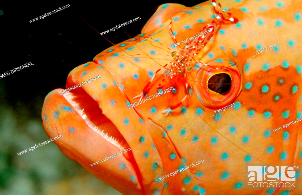 Stock Photo: Coral grouper and cleaner shrimp, Leandrites cyrtorhynchus. Ari Atoll, Maayafushi. Maldives Island, Indian Ocean.