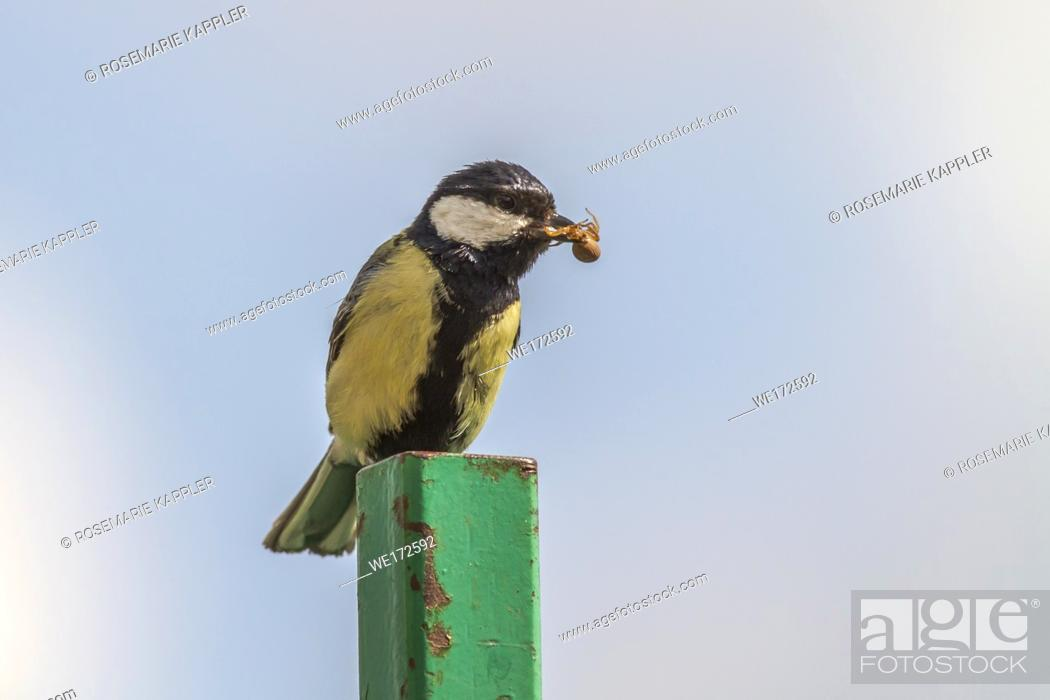 Stock Photo: Germany, Saarland, Homburg - A great tit is sitting on a branch.