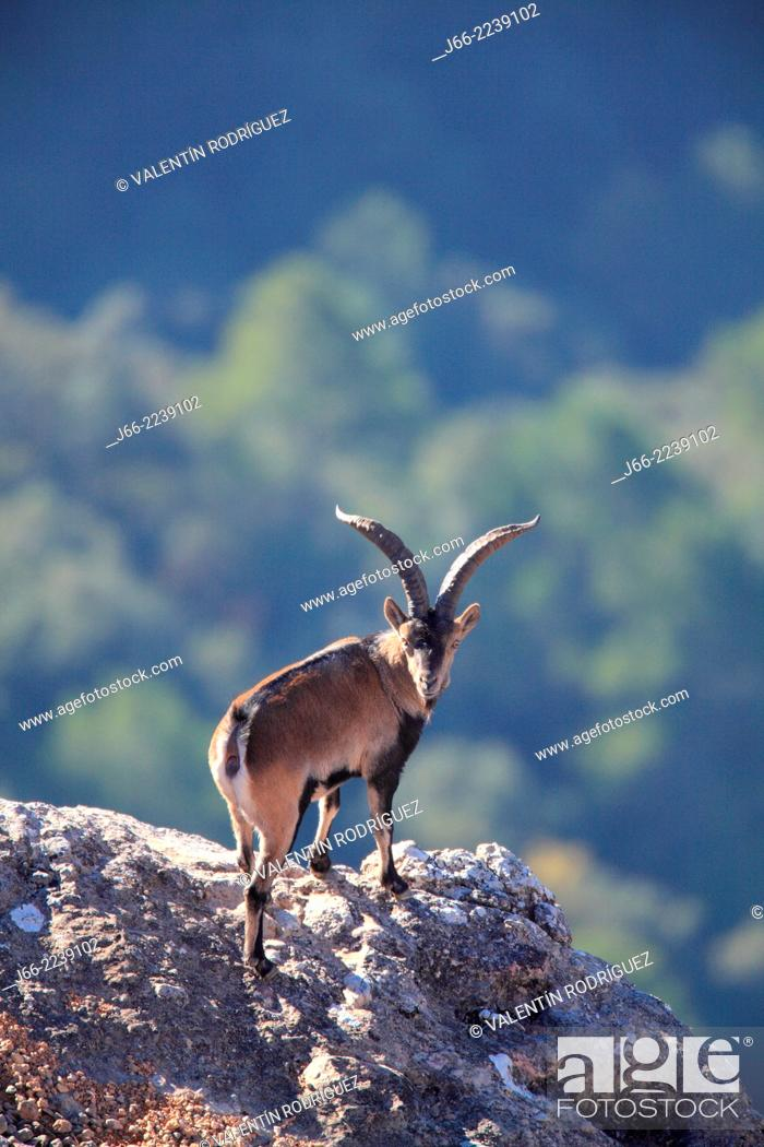 Stock Photo: ibex (Capra pyrenaica), male. Natural Park Els Ports, Horta de San Joan. Tarragona.