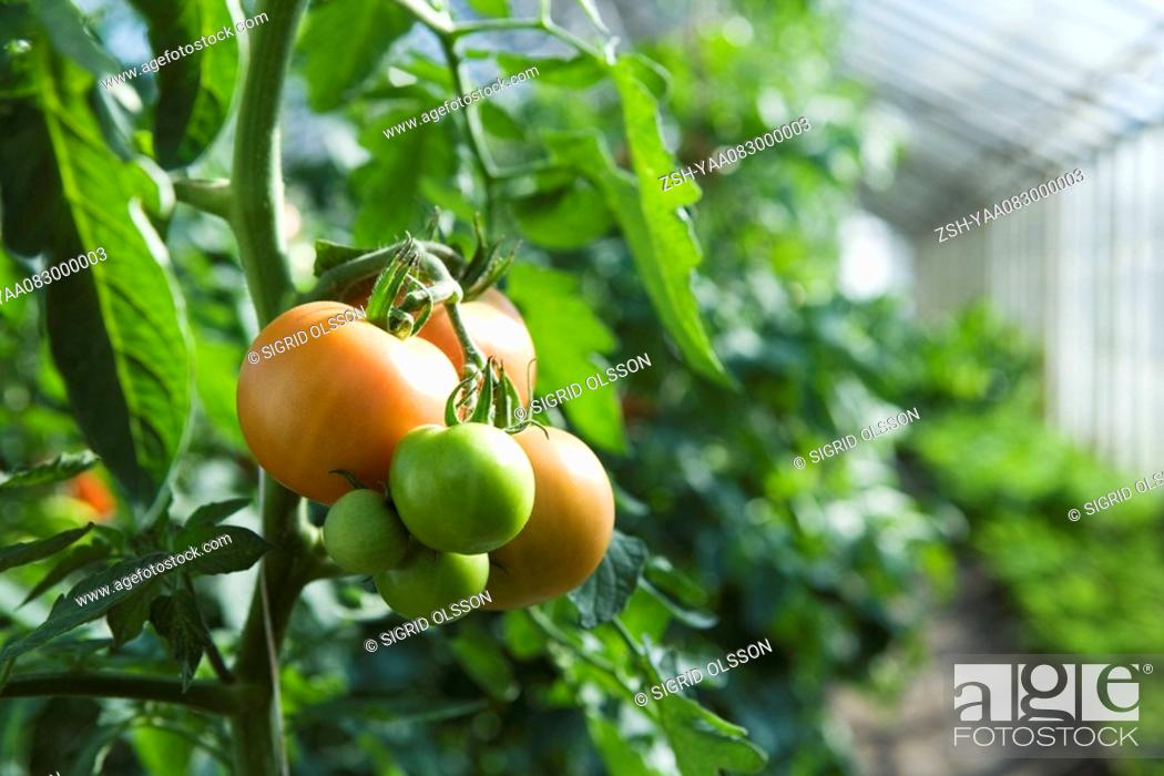Stock Photo: Tomatoes ripening in greenhouse.
