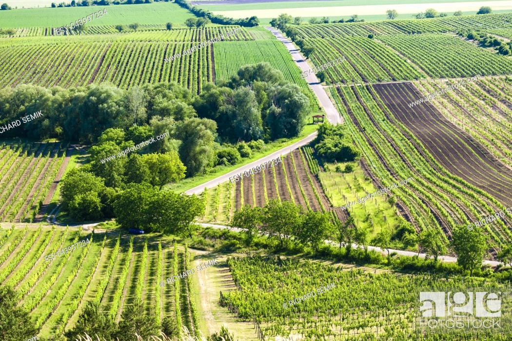 Imagen: vineyards near Velke Bilovice, Czech Republic.