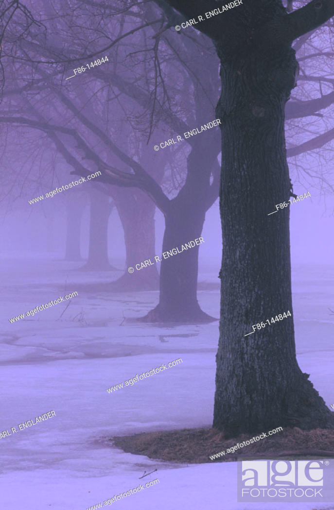 Stock Photo: Trees in fog. New Jersey. USA.