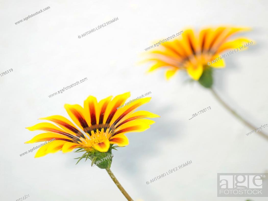 Stock Photo: ornamental flowers, Zinnia elegans.