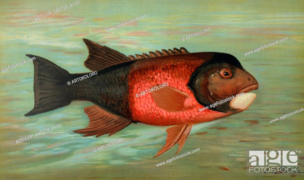 Stock Photo: The Sacramento Pike, Squaw's-fish or Yellow belly, Ptychocheilus oregonensis, Harris, William C. (William Charles), 1830-1905, (Author), Petrie, J. L.