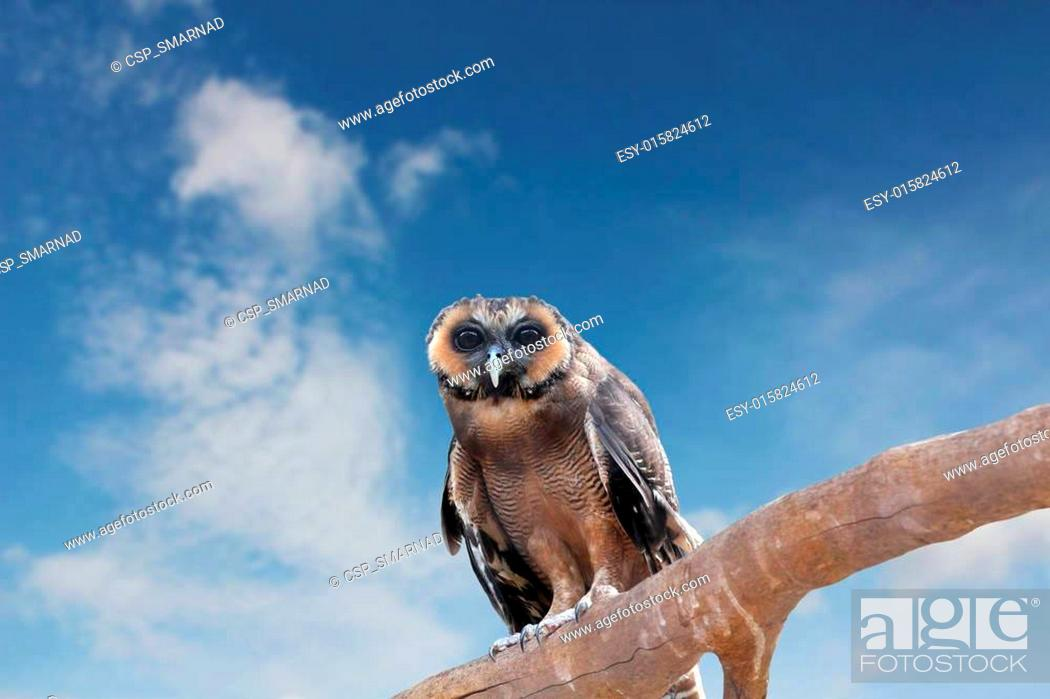 Stock Photo: Brown Wood Owl perching on an old wood branch and looking for prey. Its scientifc name is Strix leptogrammica and found mostly in India.