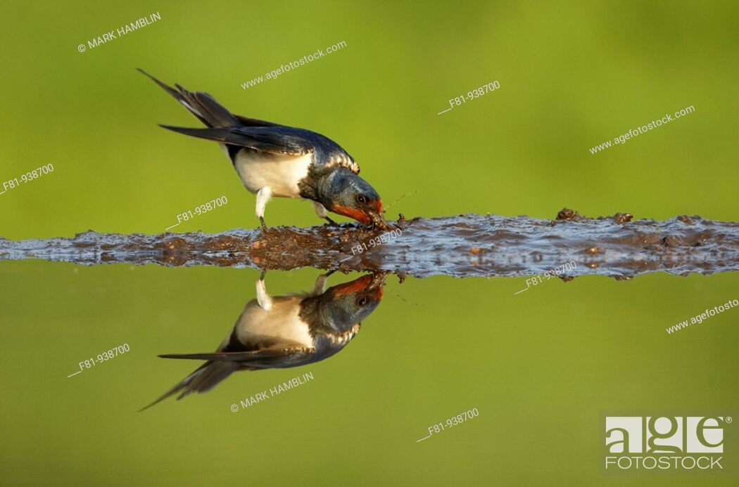 Stock Photo: Swallow Hirundo rustica adult collecting mud from edge of pond  UK  May 2008.