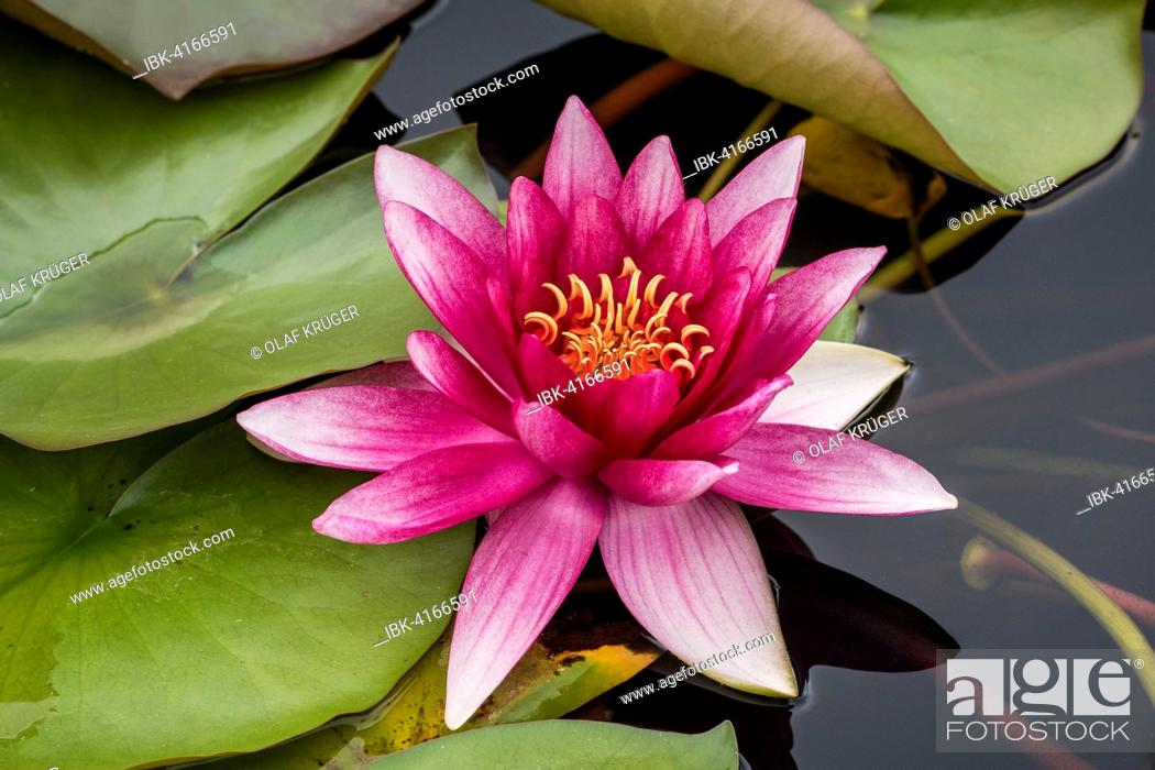 Stock Photo: Water lily (Nymphaea sp.), Baden-Württemberg, Germany.