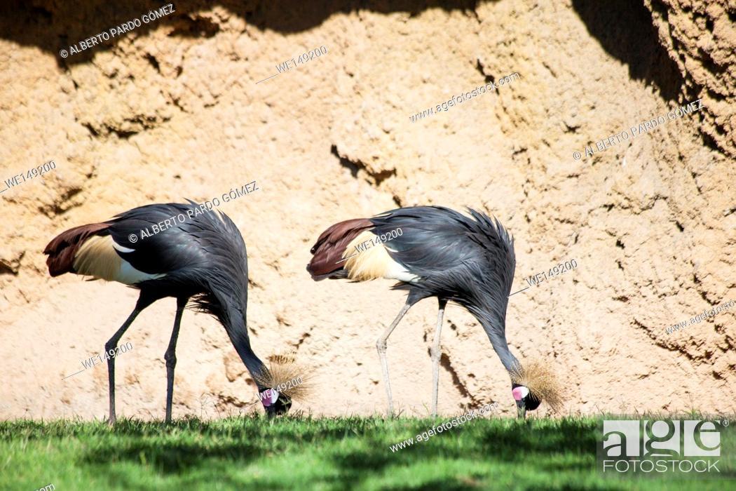 Stock Photo: African crowned cranes Balearica regulorum.