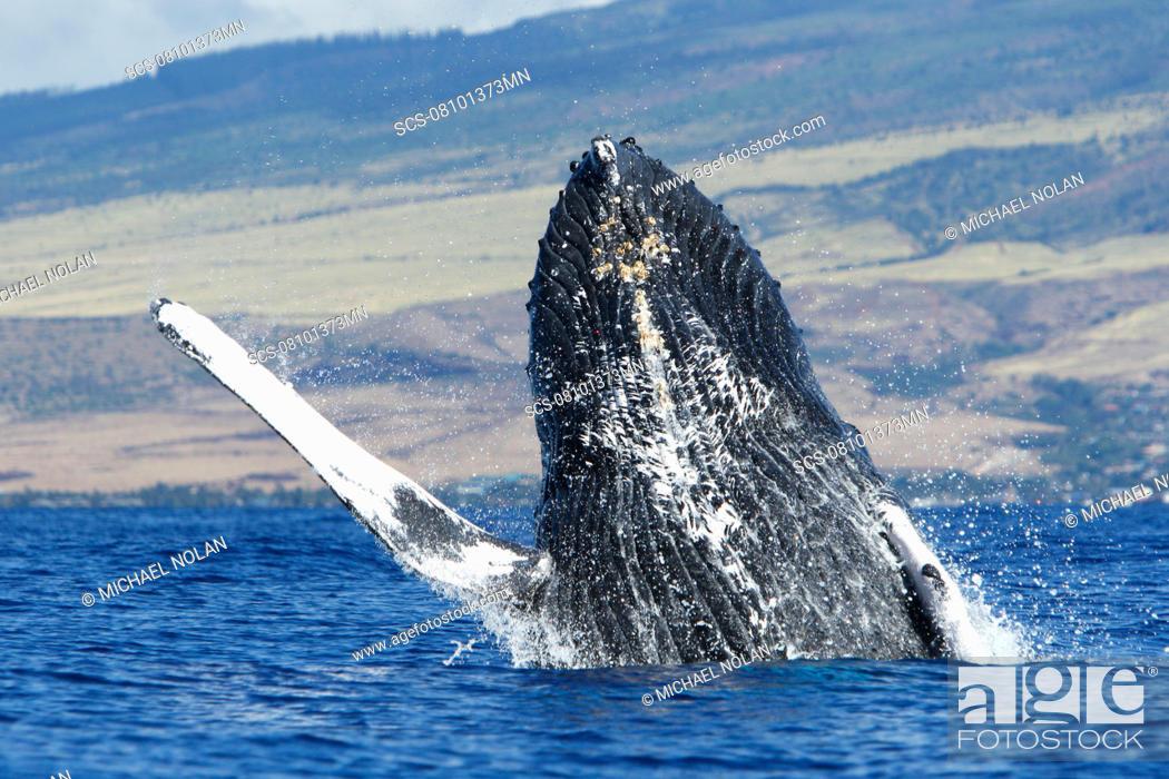 Stock Photo: Adult humpback whale Megaptera novaeangliae breaching in the AuAu Channel, Maui, Hawaii, USA Pacific Ocean.