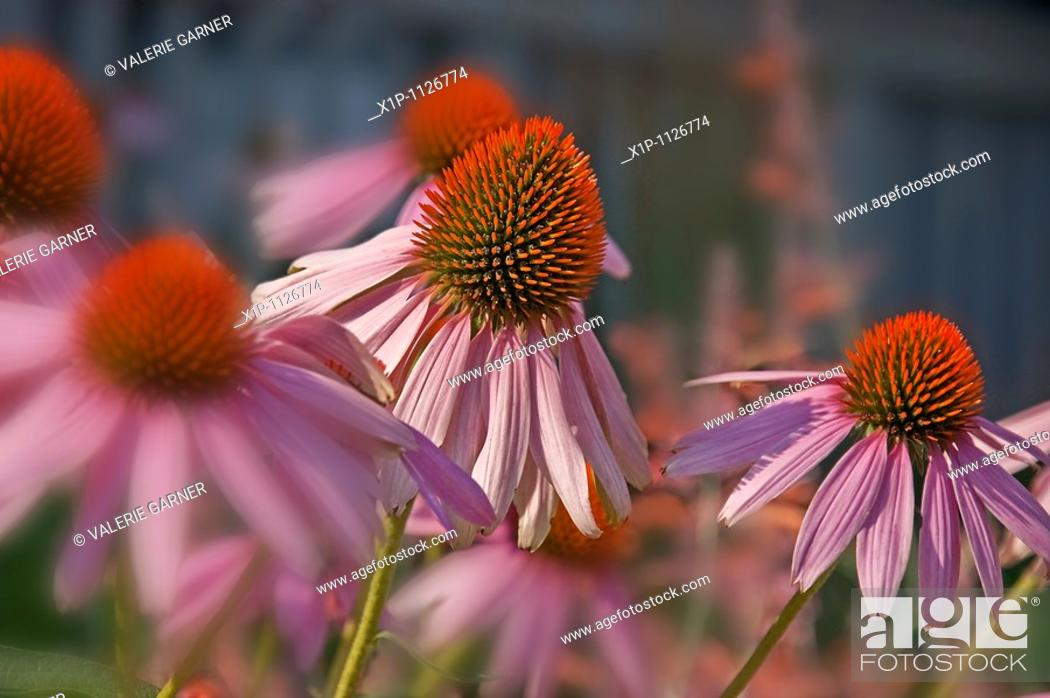 Stock Photo: This image is Echinacea Pallida, commonly known as pink coneflower a beautiful summer perennial garden plant and herb Background intentionally blurred for.