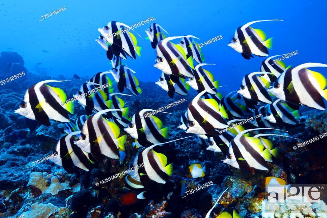 Stock Photo: Shoal of Longfin Bannerfish, Heniochus acuminatus, Ahe Atoll, Tuamotu Archipel, French Polynesia.