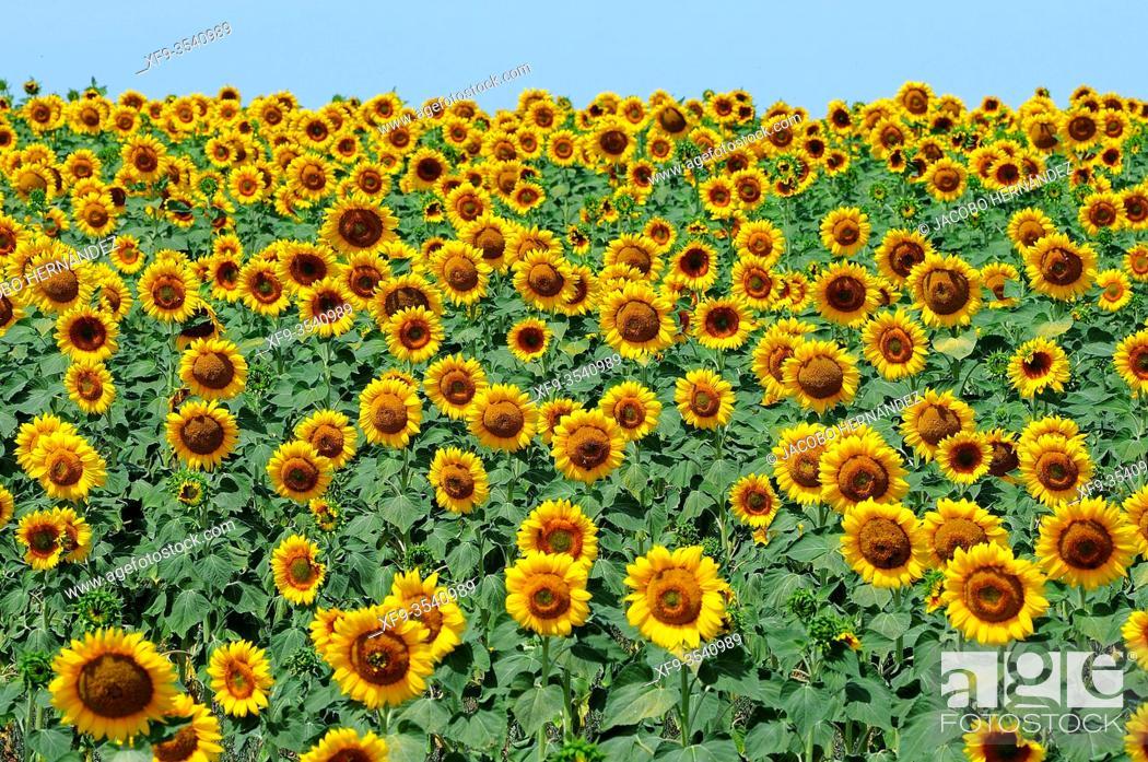 Stock Photo: Sunflowers. Aljucén. Badajoz province. Extremadura. Spain.