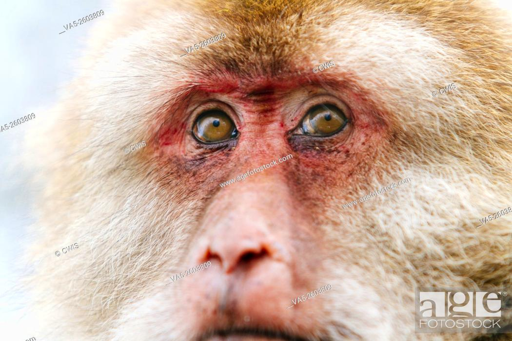Imagen: Mt. Emei, Sichuan province, China - Close up of the cute macaque in the wild.