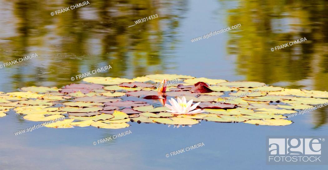 Stock Photo: Nymphaea Tetragona Water Lily on Lake.