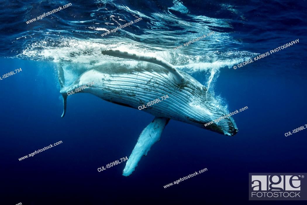 Stock Photo: Humpback whales (Megaptera novaeangliae), underwater view, Tonga, Western, Fiji.
