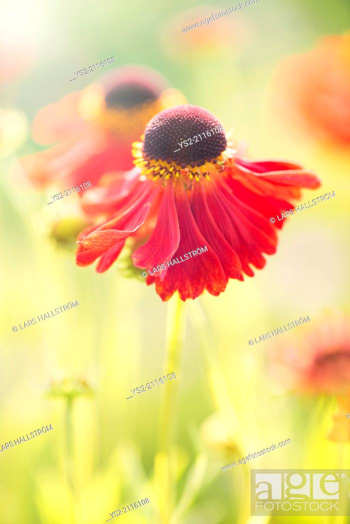 Stock Photo: Tranquil summer nature scene, close up of red flower in sunlight.