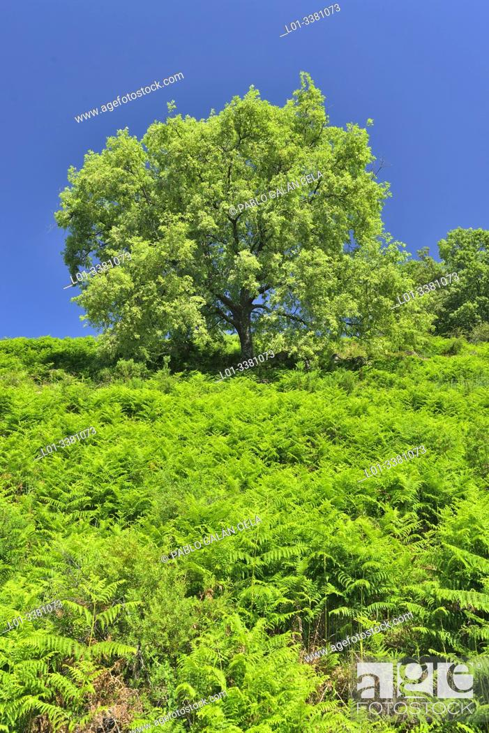 Imagen: Pyrenean Oak (Quercus pyrenaica), Sierra de Gredos, Castile-Leon, Spain.