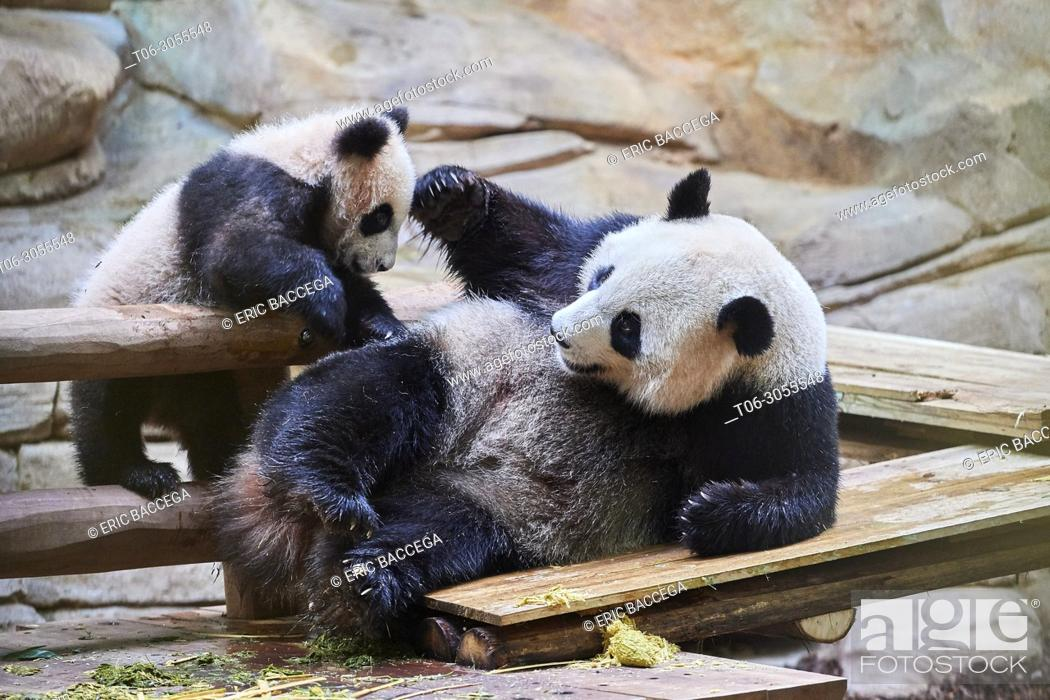 Stock Photo: Giant panda female Huan Huan playing with her cub (Ailuropoda melanoleuca). Yuan Meng, first giant panda ever born in France, is now 8 months old.