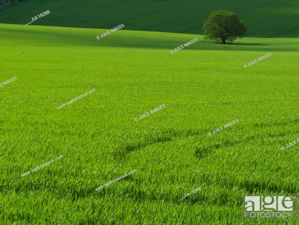 Stock Photo: Green barley field with lone tree.
