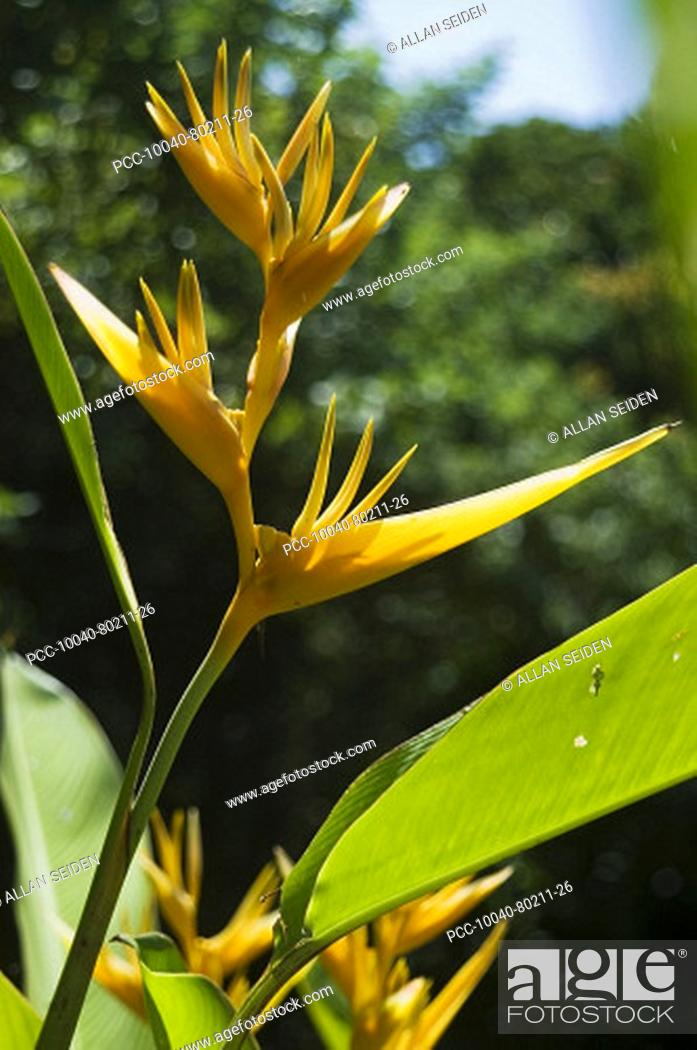 Stock Photo: Yellow heliconia in bright sunlight.