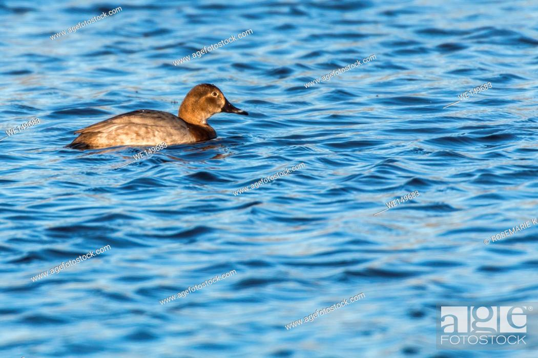 Stock Photo: germany, saarland, homburg - A common pochard is swimming on a pond.