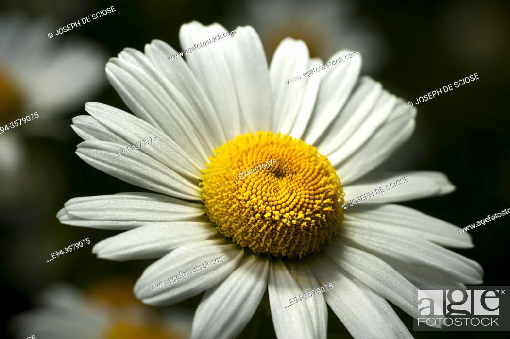 Stock Photo: Close up of a shasta daisy flower.
