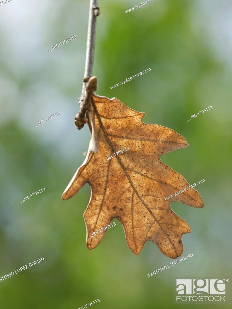 Stock Photo: oak-tree autumn leaf Quercus robur.