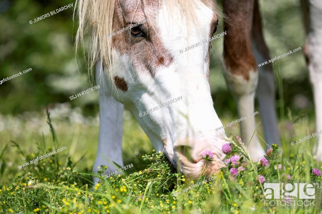 Stock Photo: Missouri Fox Trotter. Red roan sabino pinto grazing on a pasture. Switzerland.