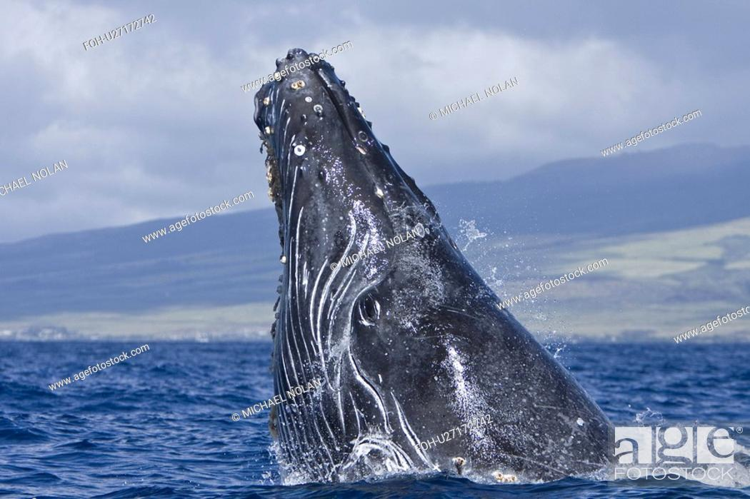 Stock Photo: Humpback whale Megaptera novaeangliae in the AuAu Channel between the islands of Maui and Lanai, Hawaii, USA. Each year humpback whales return to these waters.