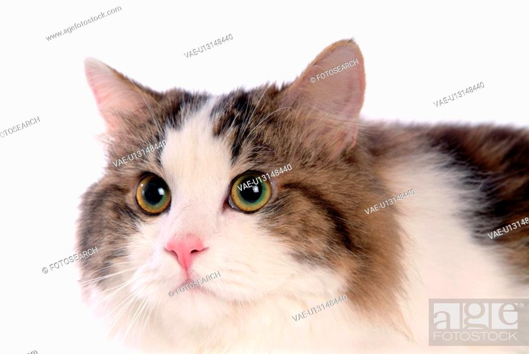 Stock Photo: domestic cat, TurkishAngora, feline, domestic animal, turkishangora, Turkish angora, cat.