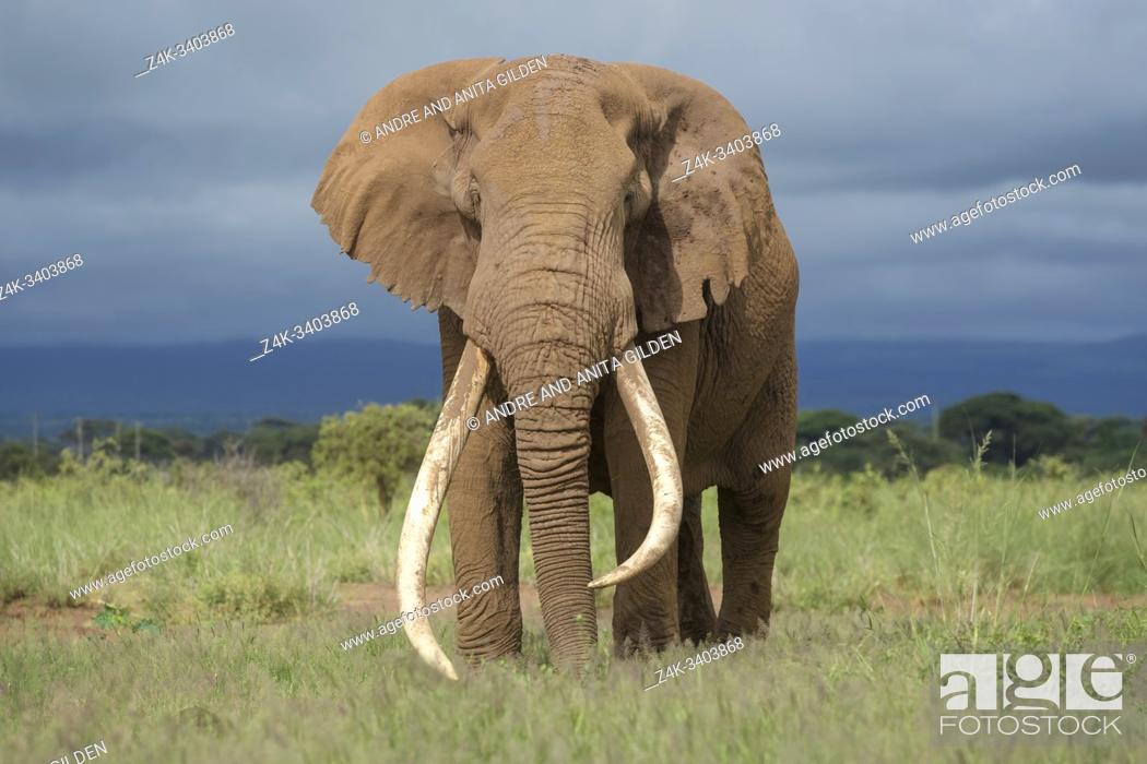 Imagen: African elephant (Loxodonta africana) bull with large tusk, standing on savanna, looking at camera, Amboseli national park, Kenya.