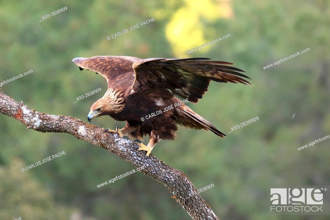 Stock Photo: äguila Real (Aquila chrysaetos) en Extremadura, Spain.