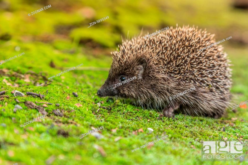 Imagen: Hedgehog in a garden is looking for food.