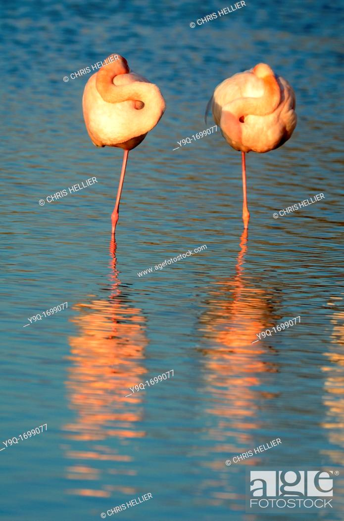 Stock Photo: Two Sleeping Flamingoes Camargue France.