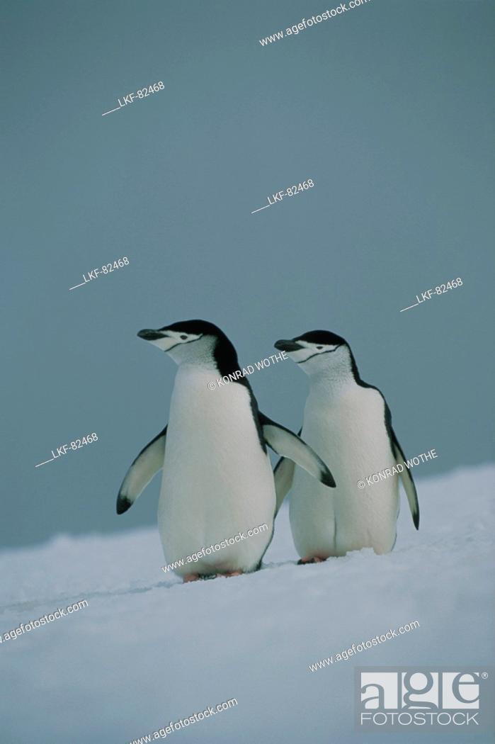 Stock Photo: Chinstrap Penguins, Pygoscelis antarctica, Antarctica.