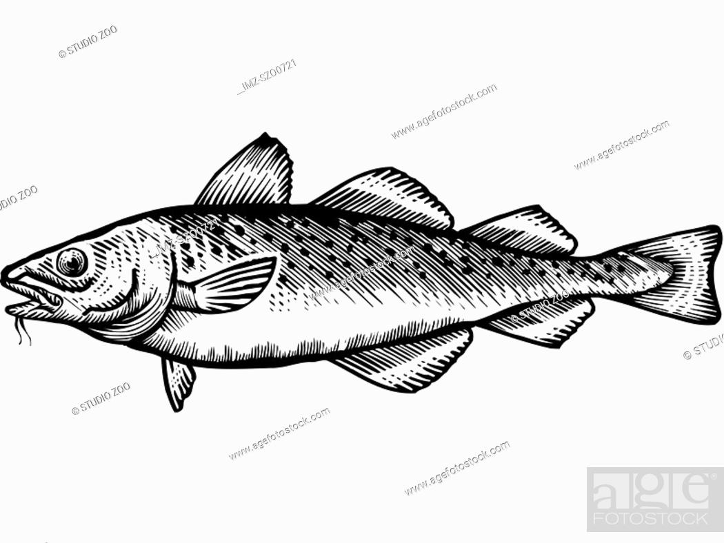 Stock Photo: A black and white drawing of a cod.