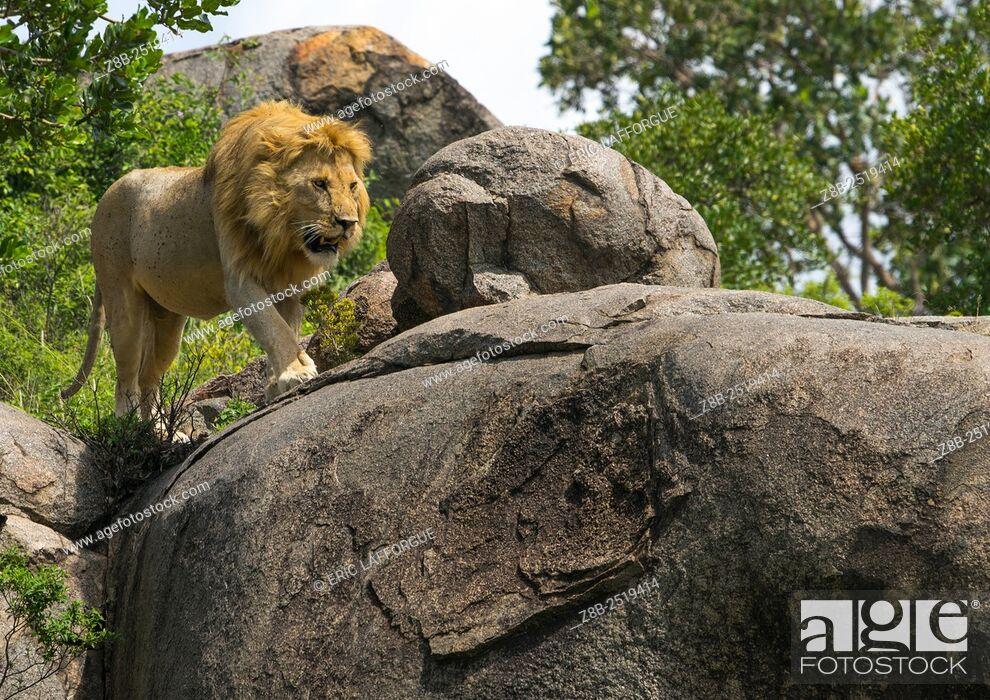 Stock Photo: Tanzania, Mara, Serengeti National Park, african lion (panthera leo) walking on a kopje.