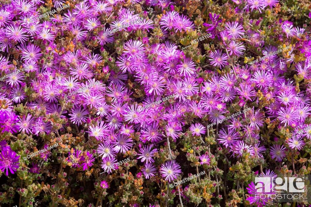 Stock Photo: Abundance of pink flowers on succulent plant in spring sunshine.