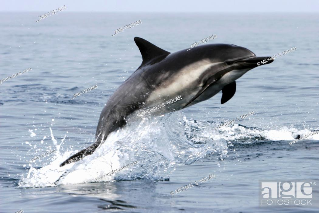 Stock Photo: Short-beaked Common Dolphin Delphinus delphis leaping offshore in Santa Monica Bay, Southern California, USA  Pacific Ocean.