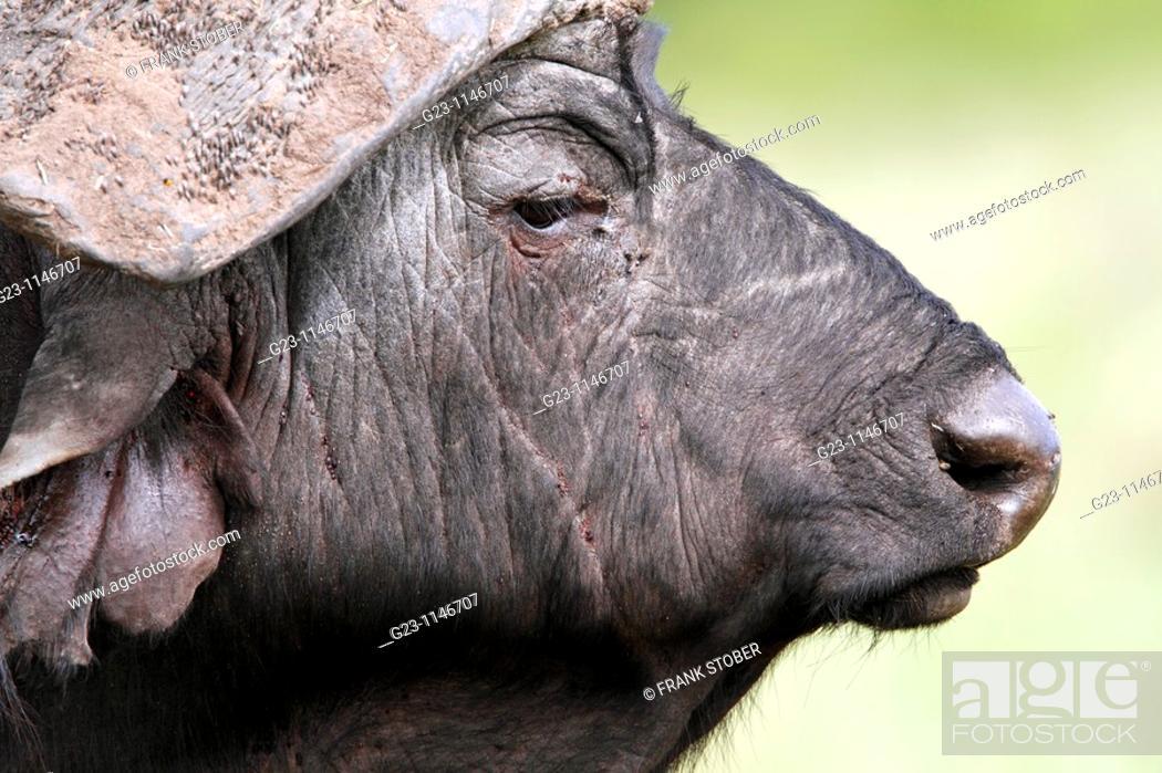 Stock Photo: buffalo portrait.